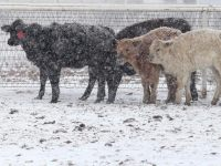 Blizzard Goliath kills Cattle-in-Blizzard-640x480_Jan 2016